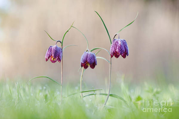 Fritillaria Photograph - Fritillary Morning by Tim Gainey