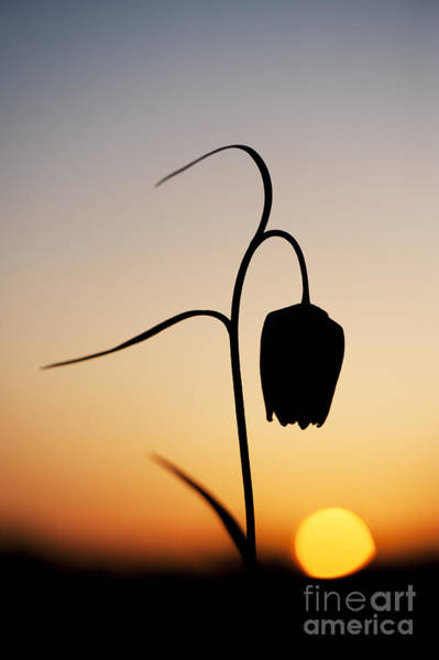Fritillaria Photograph - Fritillary Sunset by Tim Gainey