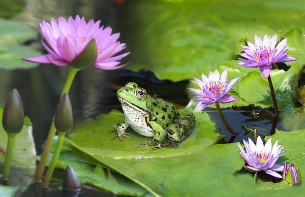 Photograph - Frog And Water Lilies by Diana Haronis