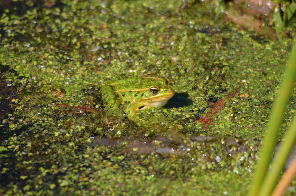 Horicon Marsh Photograph - Frog At Horicon Marsh by Chris Tennis