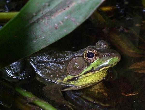 Photograph - Frog In Pond by Cleaster Cotton