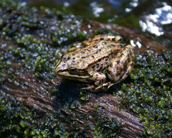 Photograph - Frog On A Log 4 by Ben Upham III