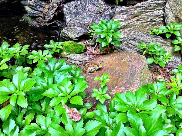 Frog On A Rock Art Print