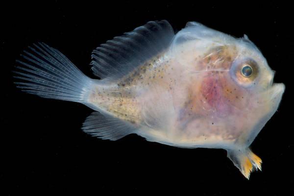 Photograph - Frogfish, Antennarius Sp., Larva by Dante Fenolio
