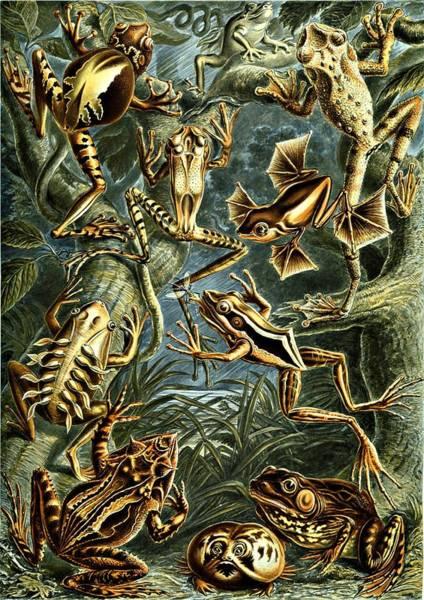 Digital Art - Frogs Amphibious Haeckel Batrachia Amphibians by Movie Poster Prints