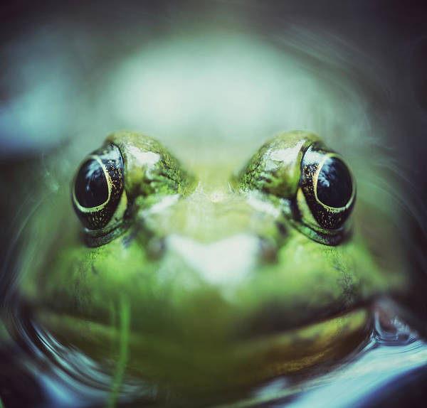 Bullfrog Photograph - Frogs Level by Shaunl