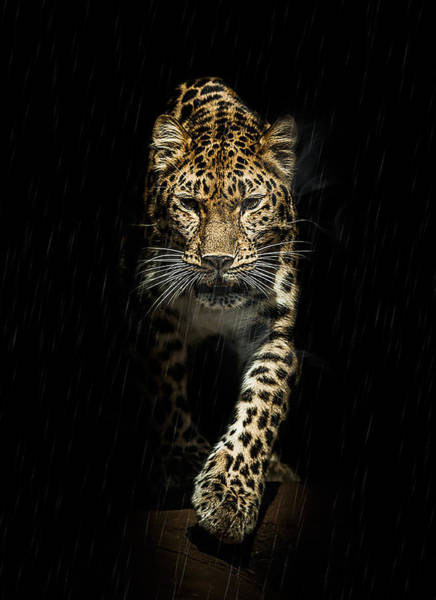 Big Cat Wall Art - Photograph - From Out Of The Darkness by Paul Neville