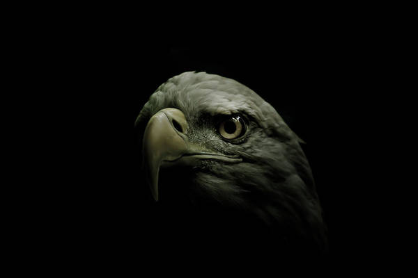 Bald Eagle Photograph - From The Shadows by Shane Holsclaw