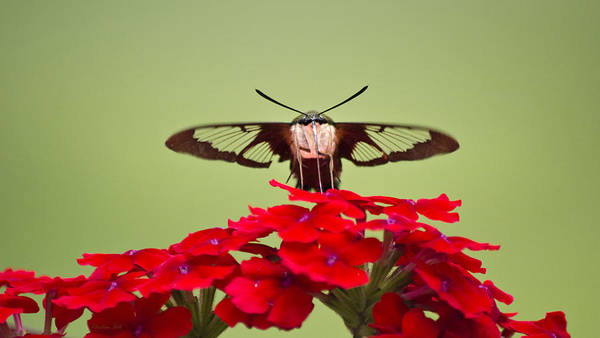 Photograph - Hummingbird Clearwing Moth Front And Center  by Christina Rollo