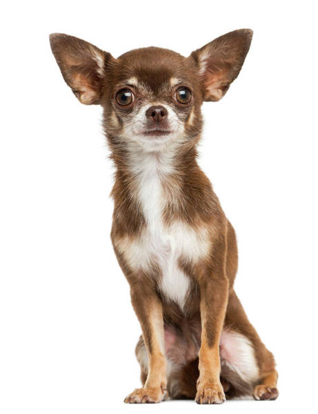 Chihuahua Photograph - Front View Of A Chihuahua Sitting by Life On White