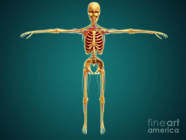 Lumbar Plexus Digital Art - Front View Of Human Skeleton by Stocktrek Images