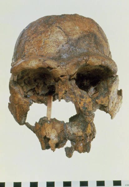 Wall Art - Photograph - Front View Of Skull Of Homo Erectus (knm-er 3733) by John Reader/science Photo Library