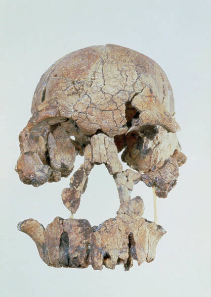 Wall Art - Photograph - Front View Of Skull Of Homo Habilis (knm-er 1470) by John Reader/science Photo Library