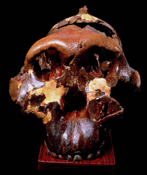 Wall Art - Photograph - Front View Of Skull Of Paranthropus Boisei (zinj) by John Reader/science Photo Library
