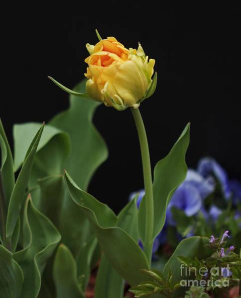 Lewes Photograph - Front Yard Tulip by Robert Pilkington