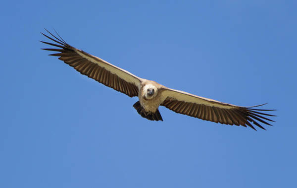 Back In The Day Photograph - Frontal Image Of A White-backed Vulture by John Bryant