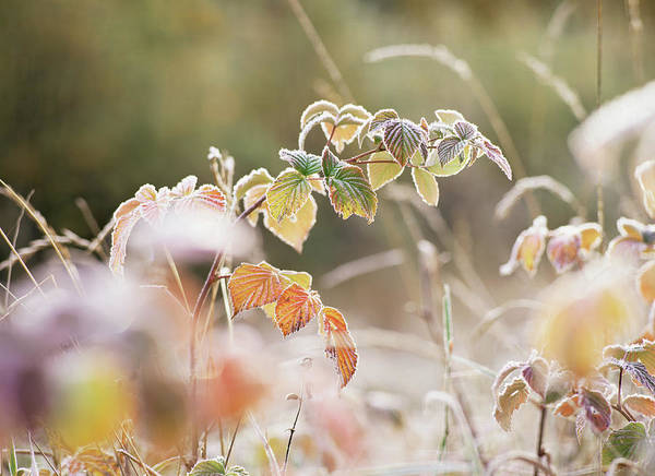 Icy Leaves Wall Art - Photograph - Frost Covered Bramble (rubus Sp.) by Bjorn Svensson/science Photo Library