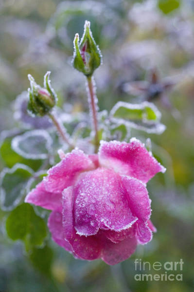 Photograph - Frost On A Rose by Mark Harmel