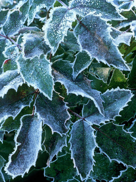 Horticulture Photograph - Frost On Mahonia Sp by Geoff Kidd/science Photo Library