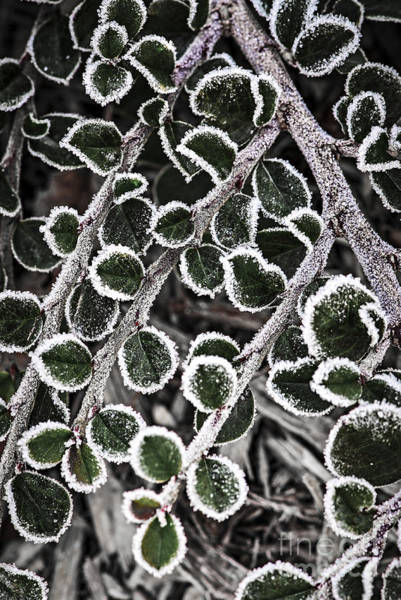 Icy Leaves Wall Art - Photograph - Frost On Plant Branch In Late Fall by Elena Elisseeva