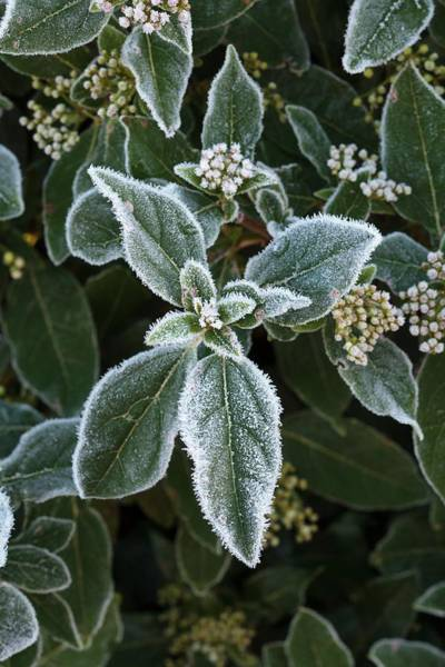 Frosty Photograph - Frost On Viburnum Tinus by Geoff Kidd/science Photo Library