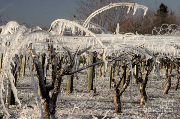 Kiwifruit Photograph - Frost Protection by Ron Sanford
