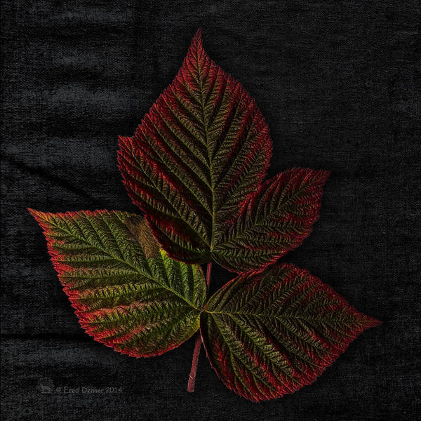 Photograph - Frost Tinged Raspberry Leaf by Fred Denner