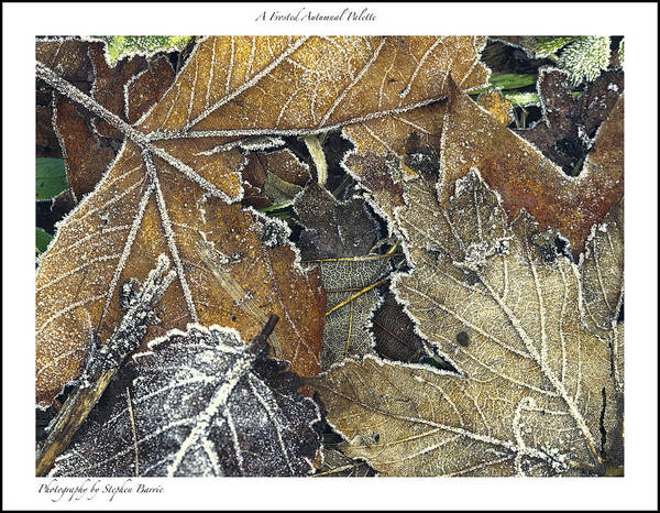 Photograph - Frosted Autumnal Leaves by Stephen Barrie