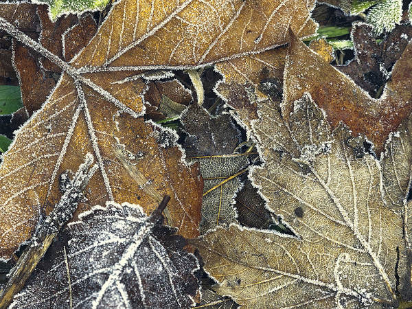 Photograph - Frosted Autumnal Palette by Stephen Barrie