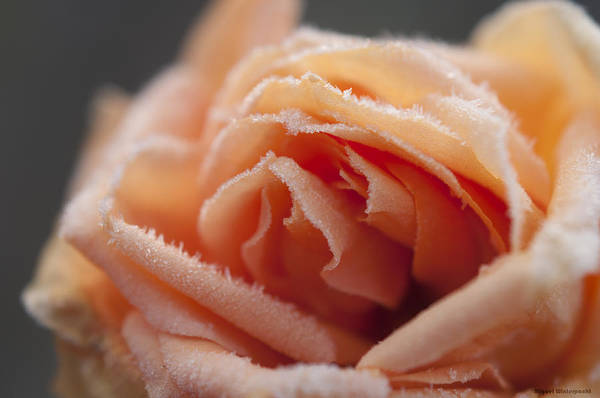 Photograph - Frosted Love by Miguel Winterpacht