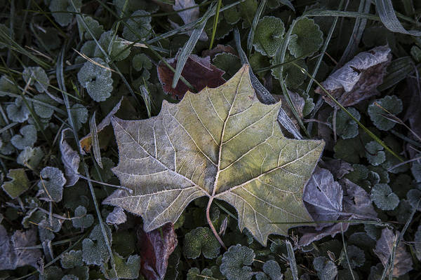 Four Leaf Clover Photograph - Frosting by Debra and Dave Vanderlaan