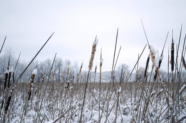 Photograph - Frosty Cattails by Jim Shackett