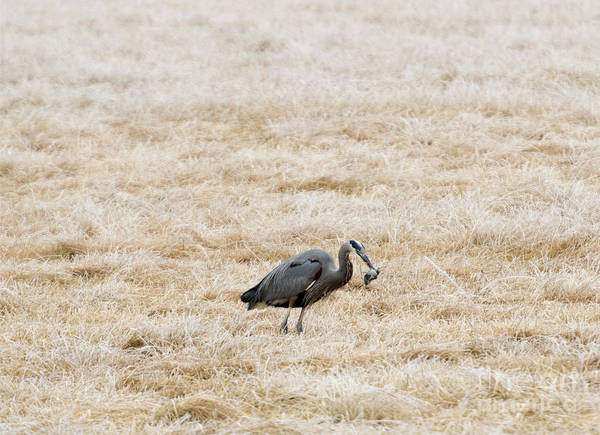 Great Blue Heron Wall Art - Photograph - Frosty Dinner by Mike  Dawson
