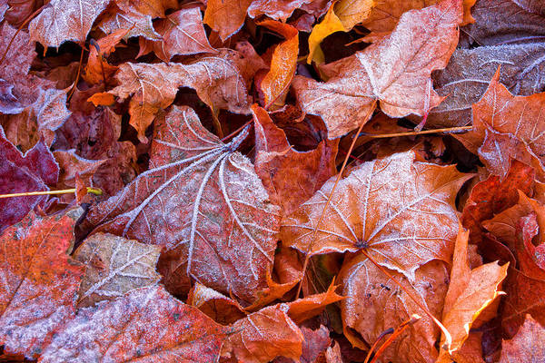 Photograph - Frosty Fallen by Jeff Sinon
