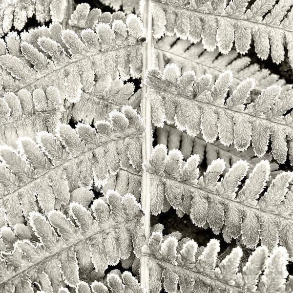 Fern Frost Photograph - Frosty Fern by Janet Burdon