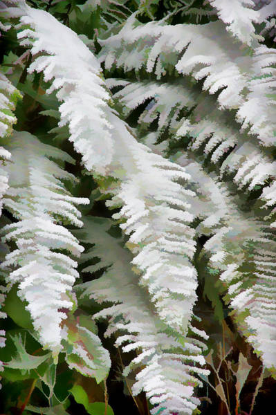 Fern Frost Photograph - Frosty Ferns by Ron Roberts