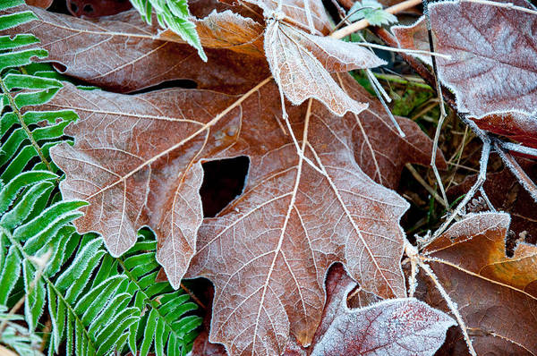 Photograph - Frosted Autumn Leaves by Roxy Hurtubise