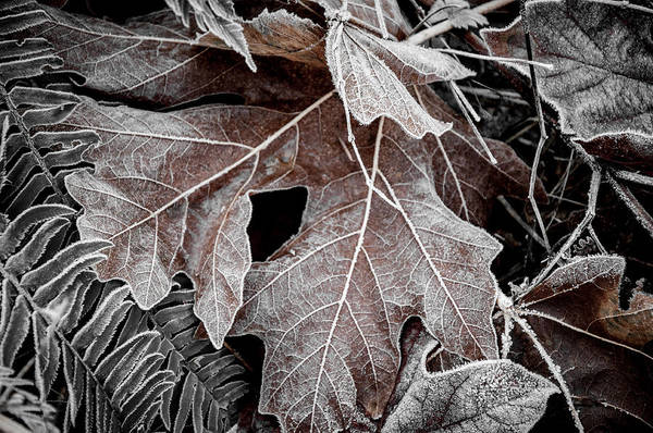 Photograph - Frosted Maple Leaves by Roxy Hurtubise