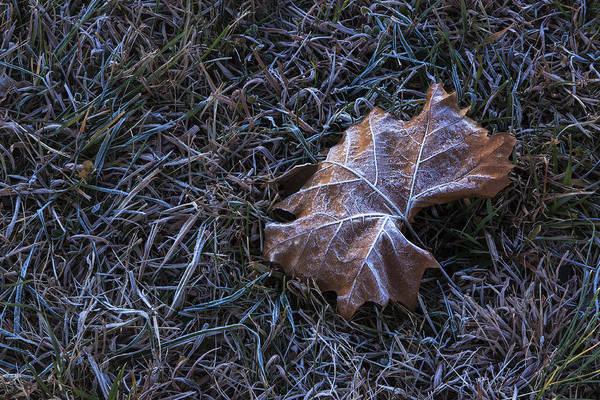 Photograph - Frosty Leaf by Tom Singleton