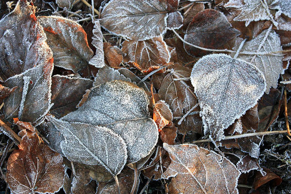 Photograph - Frosty Leaves Catching Some Sunrays by Gerry Bates