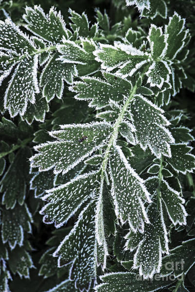Icy Leaves Wall Art - Photograph - Frosty Leaves Macro by Elena Elisseeva