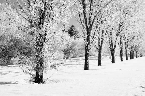 Photograph - Frosty Manitoba Maples by Gerry Bates