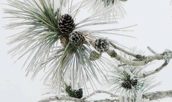 Frosty Pine Cones Art Print by Carolyn Reinhart