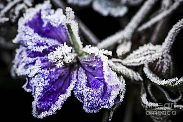 Icy Leaves Wall Art - Photograph - Frosty Purple Flower In Late Fall by Elena Elisseeva