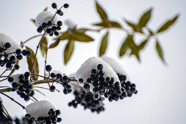 Photograph - Frozen Berries by Robert Mitchell