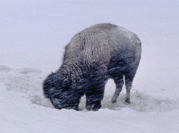 Photograph - M-09087-frozen Bison In Blizzard by Ed  Cooper Photography