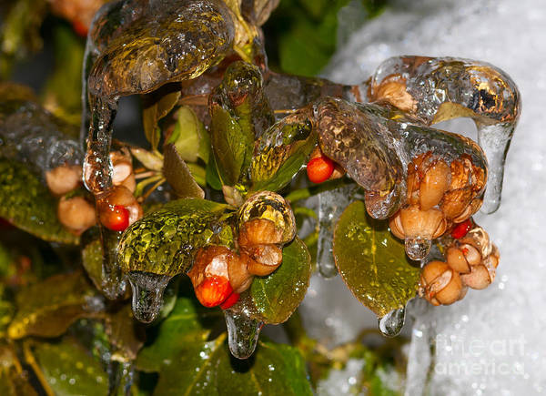 Photograph - Frozen Leaves And Berries - No 3 by Les Palenik