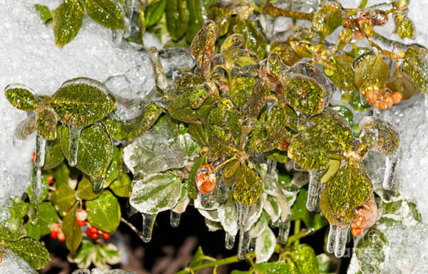 Photograph - Frozen Leaves And Berries V2 by Les Palenik