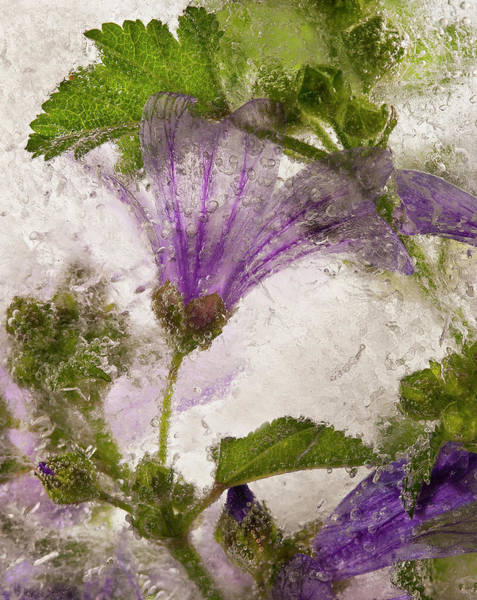 Bubble Wall Art - Photograph - Frozen Mallow Flower by Secundino Losada