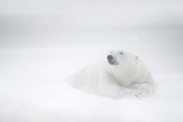 Polar Bear Photograph - Frozen Thoughts by Marco Pozzi